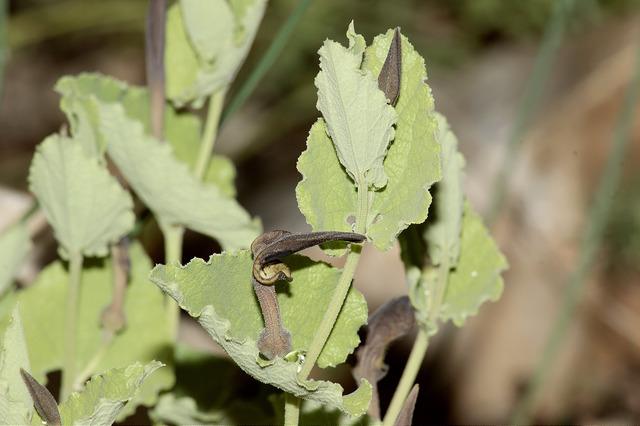 Aristoloche à feuilles rondes