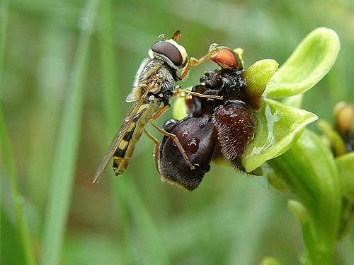 Ophrys bombyx