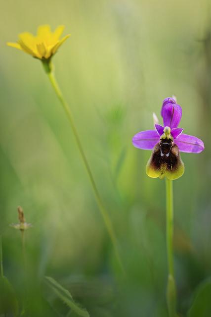 Ophrys guêpe