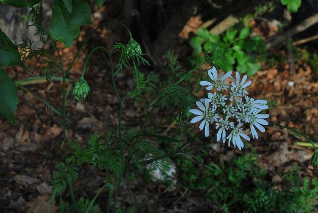 Caucalis à grandes fleurs
