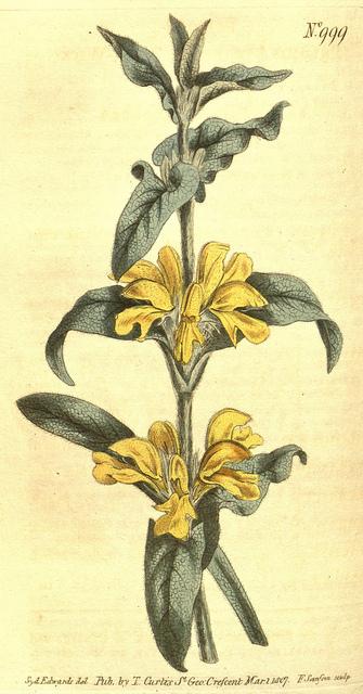Phlomis lychnite