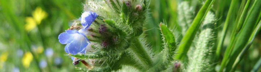 Buglosses
