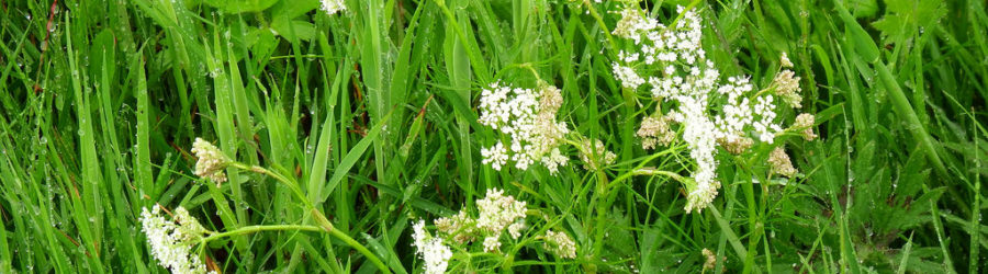 Conopodium