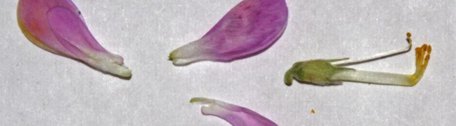 Hedysarum